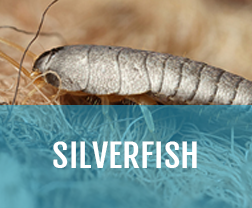 kill silverfish